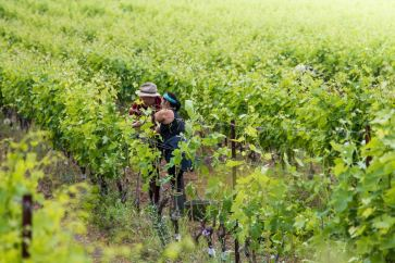 Cutting the grafted vines